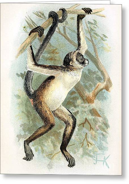 Critically Endangered Species Greeting Cards - Brown Spider Monkey, Endangered Species Greeting Card by Biodiversity Heritage Library