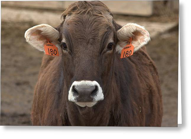 Swiss Photographs Greeting Cards - Brown Swiss Cow Greeting Card by Frank Guemmer