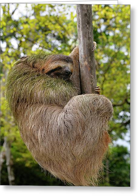 Brown Throated Three Toed Sloth Hanging At The End Of A Branch I Greeting Card by Reimar Gaertner