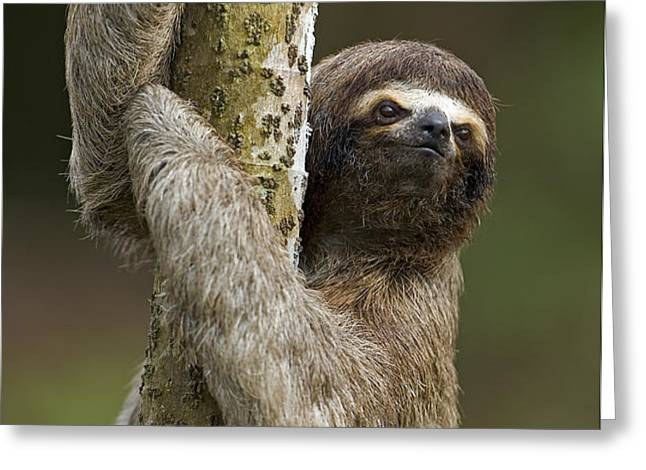 Brown-throated Three-toed Sloth Greeting Card by Ingo Arndt