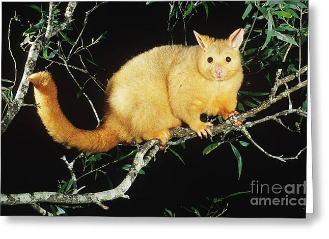 Brushtail Greeting Cards - Brush-tailed Opossum Greeting Card by B. G. Thomson