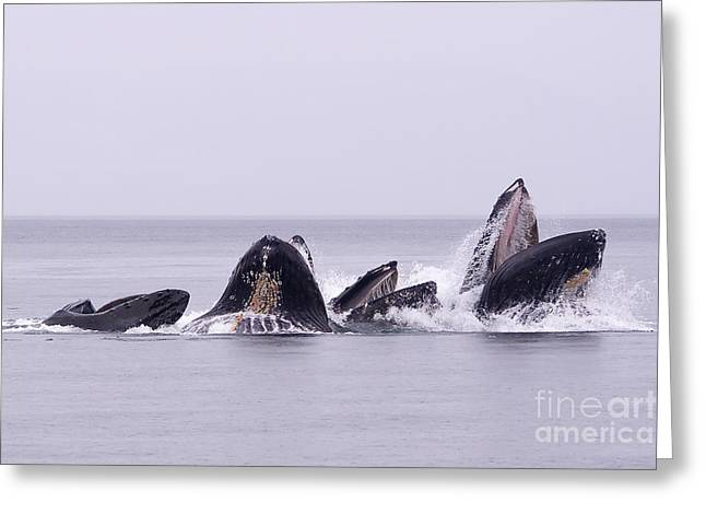 Bubble Feeding Humpbacks Greeting Card by Darcy Michaelchuk