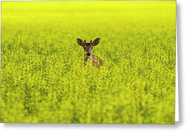 Buck In Canola Greeting Card by Mark Kiver