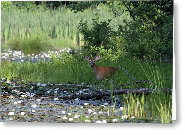 Buck In Pond Greeting Card by Karol Livote