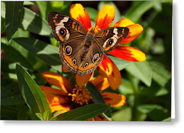 Indiana Flowers Greeting Cards - Buckeye Butterfly Greeting Card by Sandy Keeton