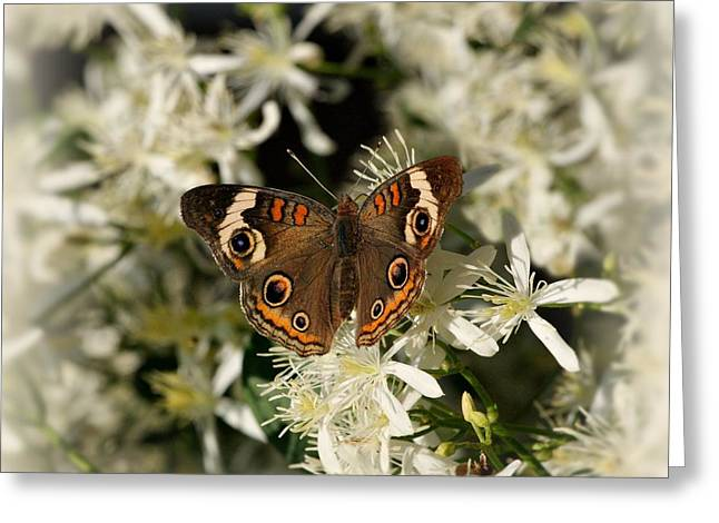 Indiana Photography Greeting Cards - Buckeye on Wildflowers Greeting Card by Sandy Keeton