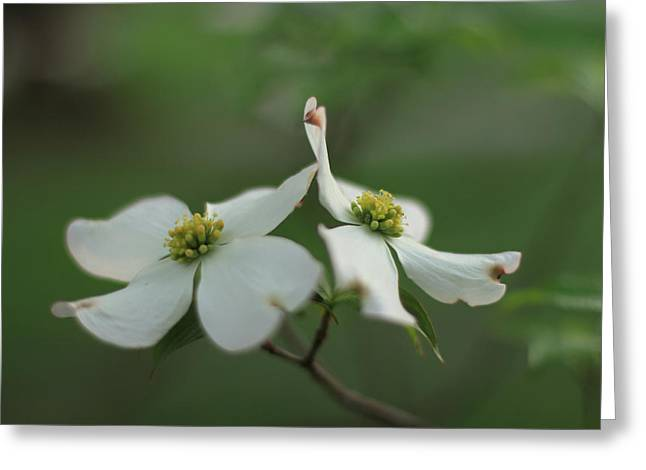 Indiana Dogwood Trees Greeting Cards - Buddies Greeting Card by Andrea Kappler