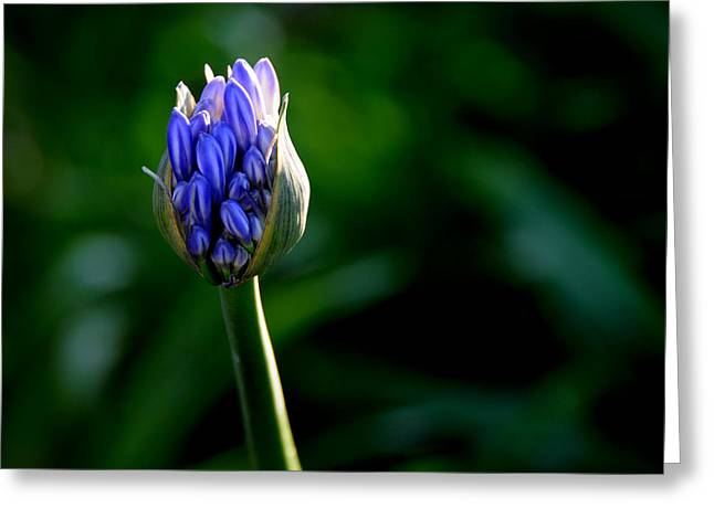 Nile Lily Greeting Cards - Budding Greeting Card by Lyle  Huisken
