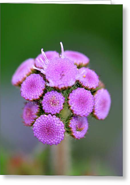 Pincushion Flower Greeting Cards - Buds in Purple Greeting Card by Betty LaRue