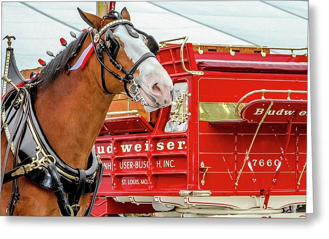 Budweiser Clydesdale In Full Dress Greeting Card by Bill Gallagher