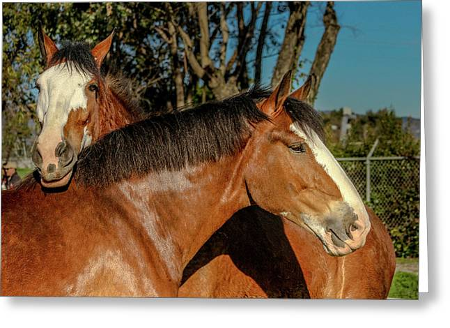 Budweiser Clydesdales  Greeting Card by Bill Gallagher