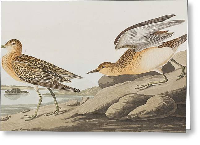 Breeds Greeting Cards - Buff Breasted Sandpiper Greeting Card by John James Audubon