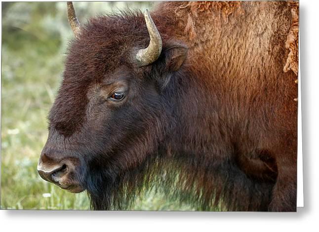 Buffalo Head Greeting Card by Todd Klassy