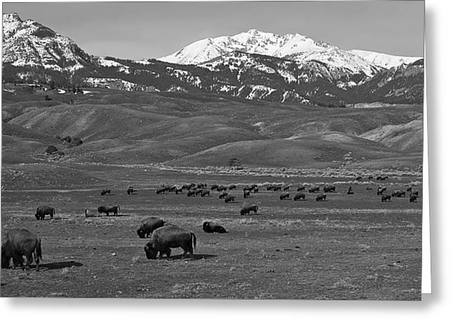 Grazing Snow Greeting Cards - Buffalo Herd Greeting Card by Skeeze