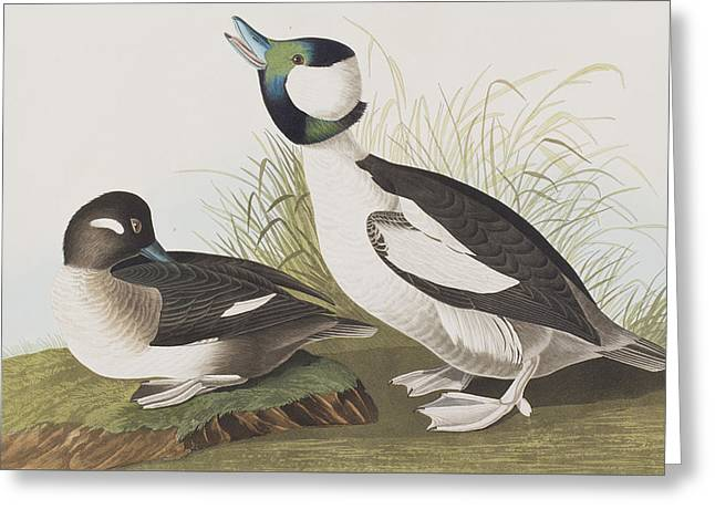 Breeds Greeting Cards - Buffel-headed Duck Greeting Card by John James Audubon