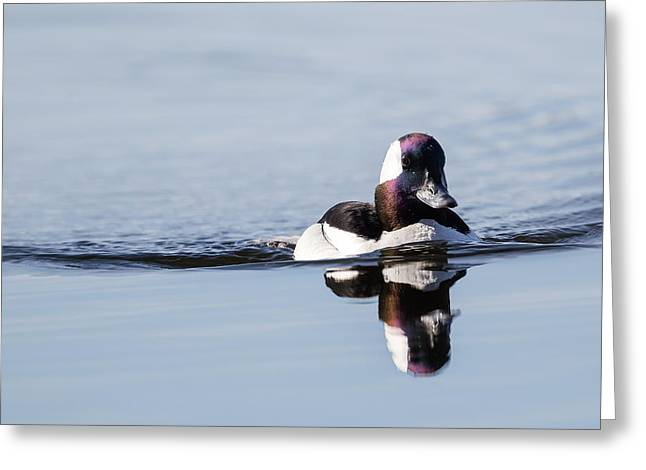 Connecticut Wildlife Greeting Cards - Bufflehead Greeting Card by Bill Wakeley