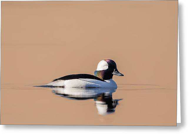 Reflection In Water Greeting Cards - Bufflehead in Morning Light Greeting Card by Bill Wakeley