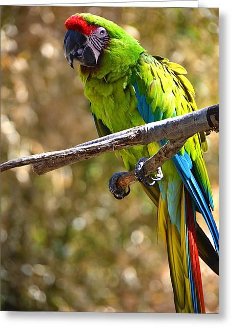 Buffon's Macaw Greeting Card by Mike Martin