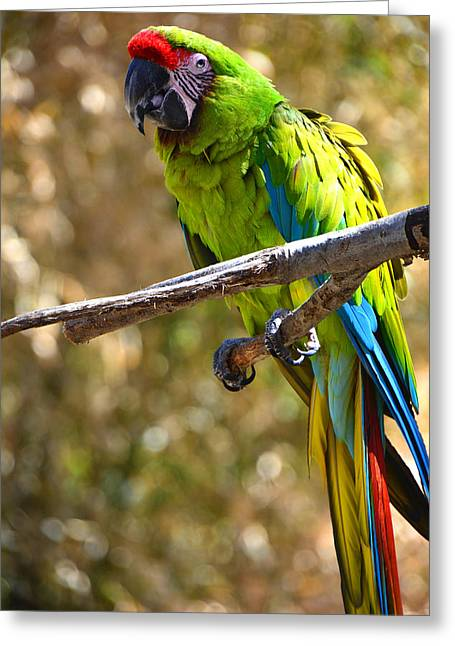 Mendon Ma Greeting Cards - Buffons Macaw Greeting Card by Mike Martin