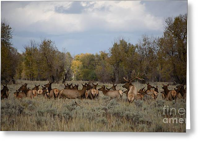 Bull Elk And Harem Greeting Card by Sandy Molinaro