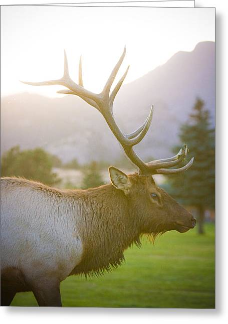 Bull Elk Profile Greeting Card by James BO  Insogna