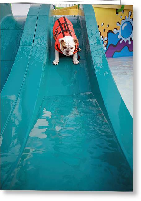 Life Jacket Greeting Cards - Bulldog Going Down Waterslide Greeting Card by Gillham Studios