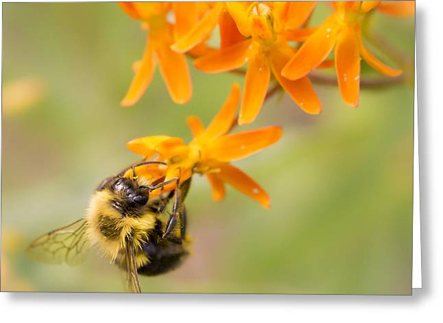 Bumblebee Greeting Cards - Bumble Bee on Butterfly Weed Greeting Card by Jim Hughes