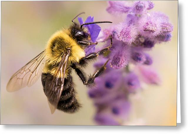 Bumble Bee On Russian Sage Greeting Card by Jim Hughes