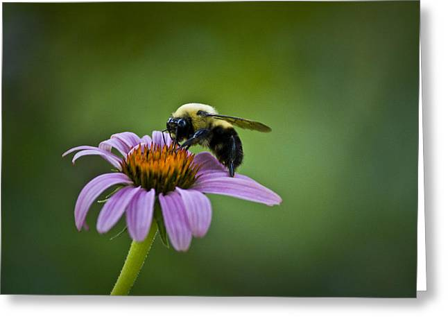 Bumblebee Greeting Cards - Bumblebee Greeting Card by Teresa Mucha