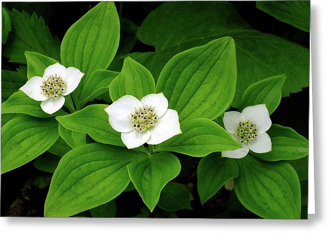 Bunchberry Blossoms Greeting Card by Bill Morgenstern