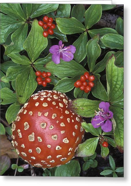 Alaska Mushroom Greeting Cards - Bunchberry Cornus Canadensis And Fly Greeting Card by Rich Reid