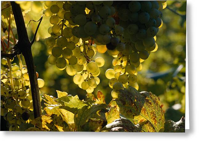 Backlit Greeting Cards - Bunches Of Grapes Hanging On Vines Greeting Card by Panoramic Images