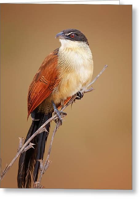 Burchell's Coucal - Rainbird Greeting Card by Johan Swanepoel