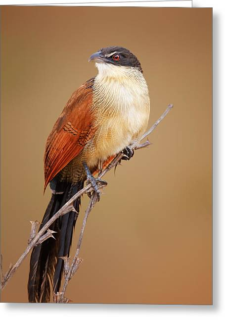 Perched Greeting Cards - Burchells coucal - Rainbird Greeting Card by Johan Swanepoel