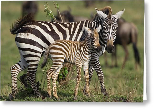 Equidae Greeting Cards - Burchells Zebra Equus Burchellii Mother Greeting Card by Suzi Eszterhas