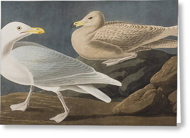 Gulls Greeting Cards - Burgomaster Gull Greeting Card by John James Audubon