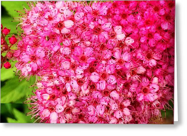 Stigma Greeting Cards - Bush Full of Tiny Pink Blooms Greeting Card by Kathy Krause