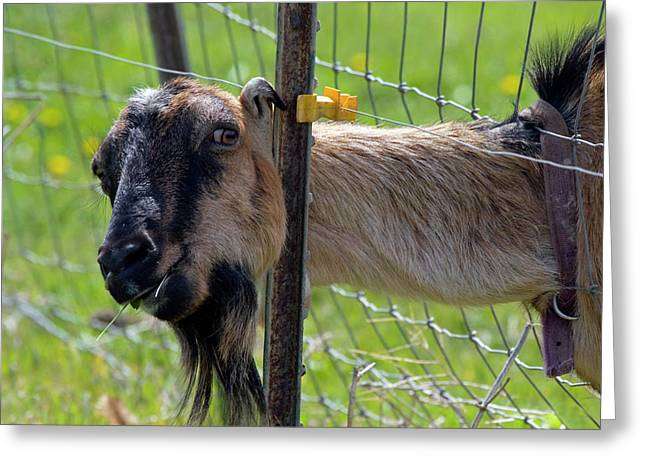 Goat Photographs Greeting Cards - Busted Greeting Card by Mike  Dawson