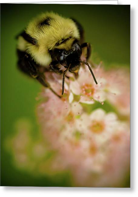 Insect Greeting Cards - Busy Bee Greeting Card by Sebastian Musial