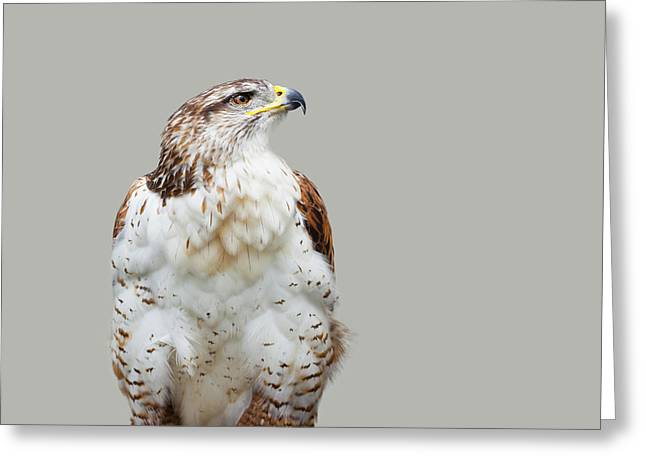 Predator Bird Greeting Cards - Buteo regalis Greeting Card by Gabriela Insuratelu