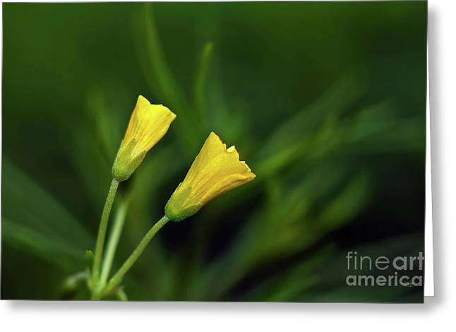 Buttercup Babies Greeting Card by Lois Bryan