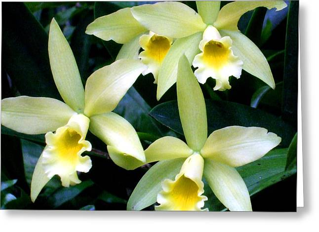 Buttercup Star Orchid Greeting Card by Mindy Newman