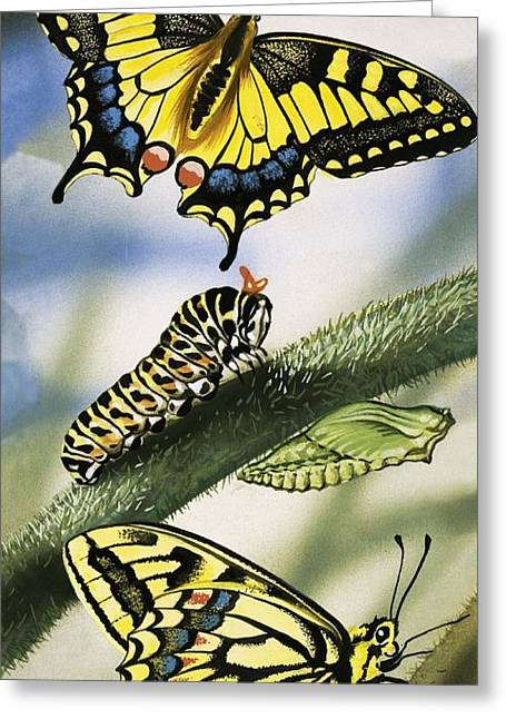 Larva Greeting Cards - Butterflies Greeting Card by English School