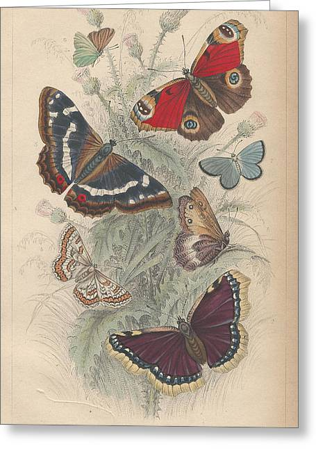 Butterflies Drawings Greeting Cards - Butterflies Greeting Card by Oliver Goldsmith