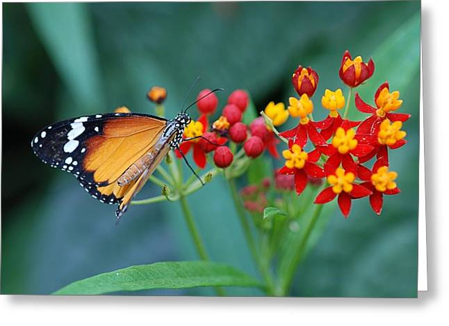 Checkerspot Greeting Cards - Butterfly 03. Greeting Card by Francois Cartier