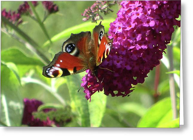Peacock Butterfly  Greeting Card by The Rambler