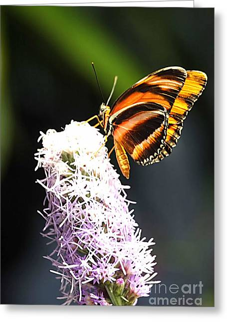 Flower Photographers Greeting Cards - Butterfly 2 Greeting Card by Tom Prendergast