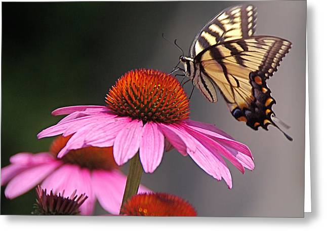 Byron Varvarigos Greeting Cards - Butterfly and Coneflower Greeting Card by Byron Varvarigos