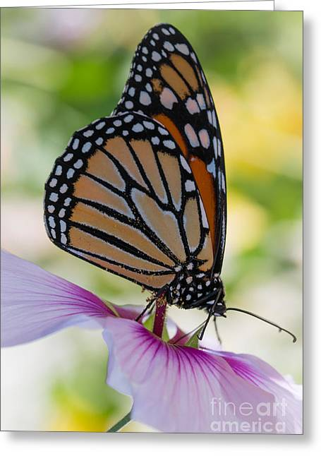 Monarch Butterfly Greeting Cards - Butterfly and Hibiscus Greeting Card by Ana V  Ramirez