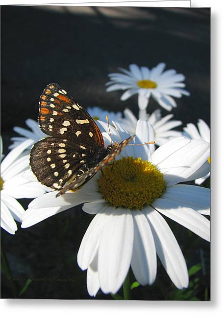 The Nature Center Greeting Cards - Butterfly and Shasta Daisy 3 Greeting Card by Brooks Garten Hauschild